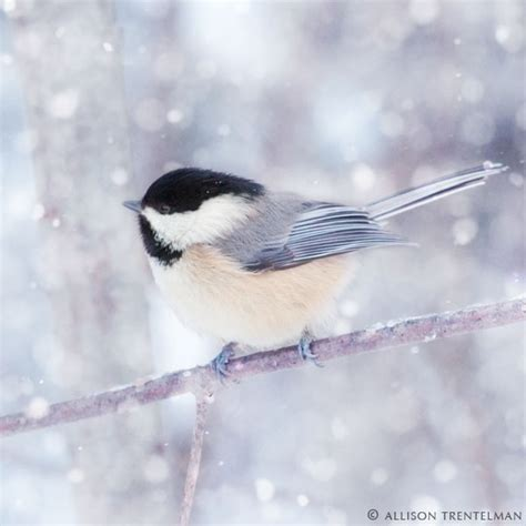 51 best images about chickadee birds on pinterest