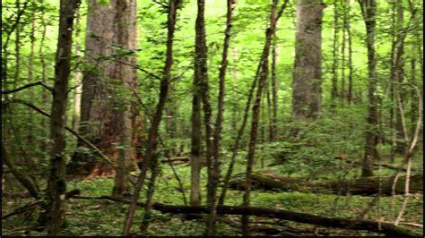 prasnik  growth oak forest youtube