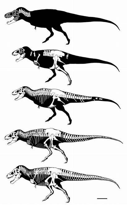 Tyrannosaurus Dinosaur Deviantart Skeleton Skeletons Museum Rex