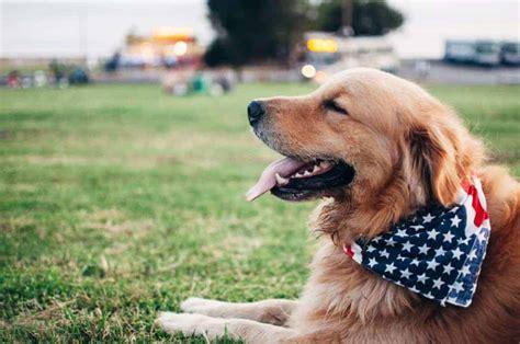 Golden Retriever puppy for sale UK