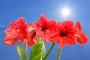 Instructions For Growing And Taking Care Of Amaryllis Bulbs