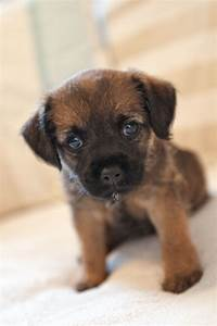 Pin by keyi 011 on so cute | Border terrier puppy, Border ...