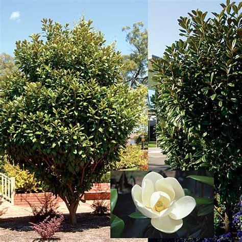 magnolia tree australia magnolia grandiflora mgtig pbr greenback r the gorgeous evergreen greenback magnolia