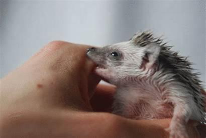 Hedgehog Gifs Cutest Bite Biting Hand Party