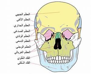File Human Skull Front Bones-ar Svg