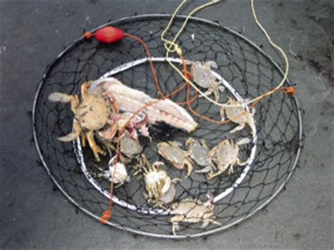 catch paddle crabs  fishing website