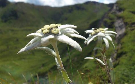 la stella alpina fiore stella alpina fiore e sua coltivazione idee green