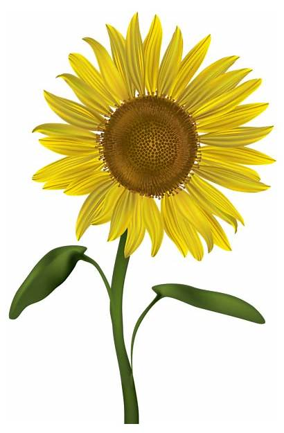 Sunflower Transparent Clip Clipart Sunflowers Flowers Flower