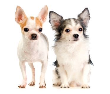 chihuahua long  short coat dog breed health