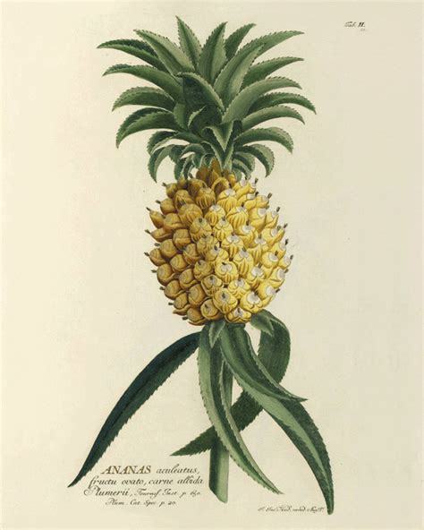 Vintage Pineapple Illustration  Wwwimgkidcom The