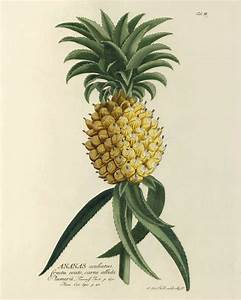 Pineapple art print vintage botanical art prints Garden Wall