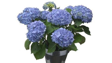 planter des hortensias en pot dire 171 je vous aime 187 avec des hortensias