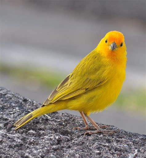 saffron finch facts pet care temperament feeding
