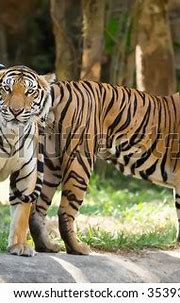 Two Tigers Staring Ferocious Eyes Stock Photo (Edit Now ...