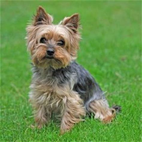 yorkshire terrier    great show dog   pet