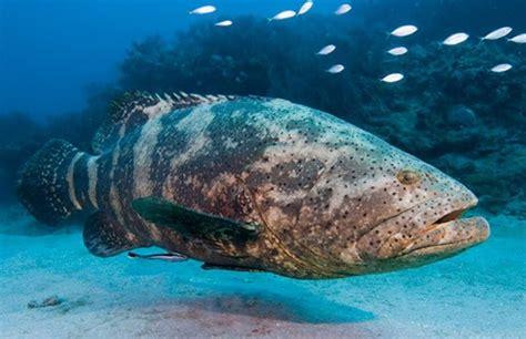 goliath grouper fish florida hd itajara wild epinephelus fishing atlantic branson