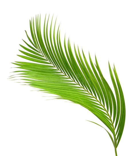 green curly cycad stock photo image  plant green
