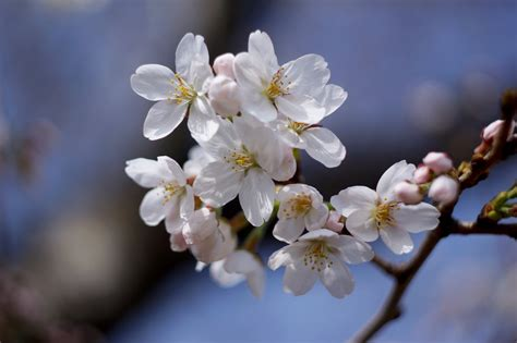 Cherry Blossom Image by The History D C S Cherry Blossoms American Forests