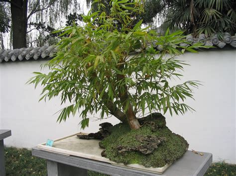 artificial weeping fig tree file bamboo bonsai chengdu jpg