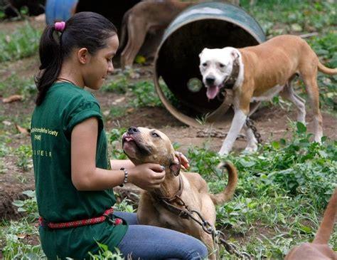 pit bulls  philippine dog fights   put