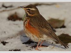 National Bird Of Turkey Redwing 123Countriescom