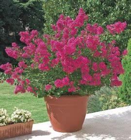 Arbuste Fleuri En Pot : arbuste fleuri persistant en pot meilleur une collection ~ Premium-room.com Idées de Décoration