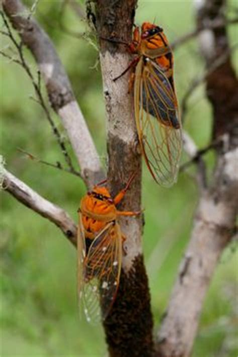 cicadas cicada flies images fly fishing fly