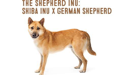 shiba inu german shepherd mix information   shiba inu