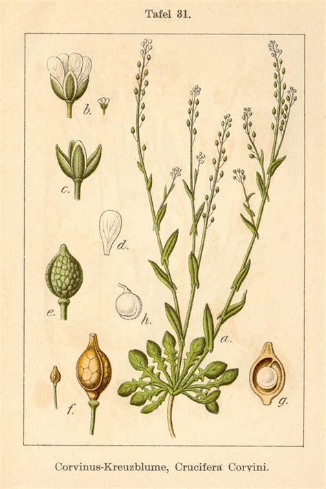 Stampe antiche - Calepina irregularis , Forum Natura