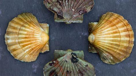 cuisiner des noix de st jacques avec corail recette pour cuisiner la coquille st jacques conseils de