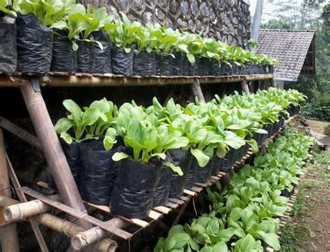budidaya sayuran polybag mudah tanaman hias