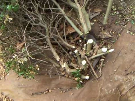 Removing Trees From Backyard by How To Tear Out Overgrown Landscape Bushes Easily