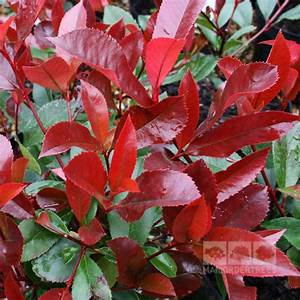 Photinia Red Robin : photinia x fraseri red robin mail order trees ~ Michelbontemps.com Haus und Dekorationen