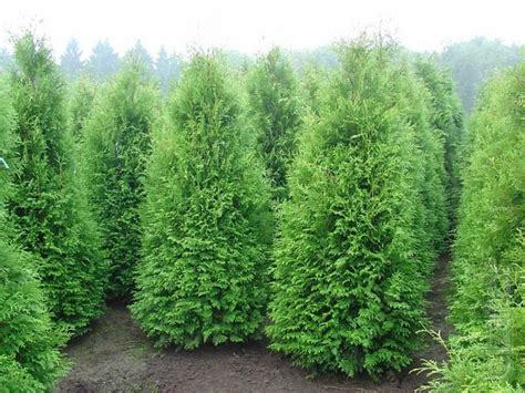 thuja occidentalis brabant sell thuja occidentalis globose thuja occidentalis brabant thuja occidentalis smaragd buy