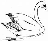 Swan Coloring Pages Printable Drawing Outline Bella Realistic Drawings Silhouette Lake Colorful Mute Animals Swans Colouring Whooper Animal Sheets Wildlife sketch template