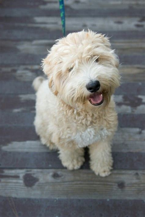 the 25 best ideas about terrier poodle mix on
