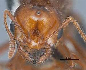 Queen Fire Ant With Wings
