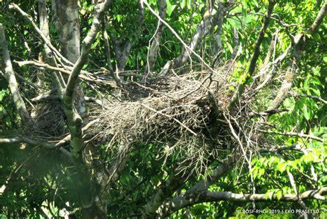 BOS Orangutan Releases: Check Out These Nests! - Orangutan Outreach