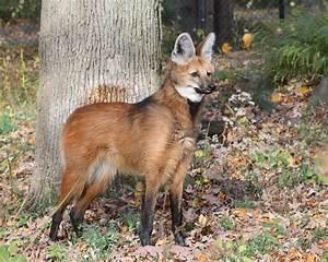 File:Maned Wolf 6, Beardsley Zoo, 2009-11-06.jpg - Wikipedia