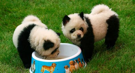 panda monium cuteness overflow