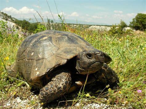 cuisine cacher une tortue de terre en danger en grèce découvrir la grèce