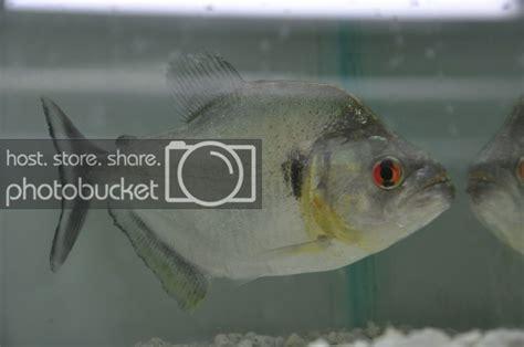 Aquascape Piranha by Aquascape Piranha Stock Pics Monsterfishkeepers