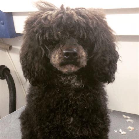 start  finishminiature poodle haircut  groomers life