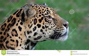 Jaguar Big Cat Panthera Onca, Costa Rica Stock Photo ...