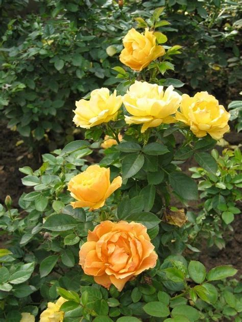 what to plant with roses flower picture rose flower picture 4