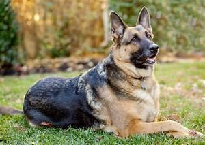 40+ German Shepherd Wallpapers HD Dogs Wallpapers HD Wallpapers Images Pictures Desktop