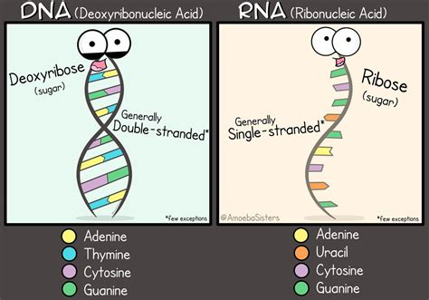 Dna Vs Rna  Science With The Amoeba Sisters