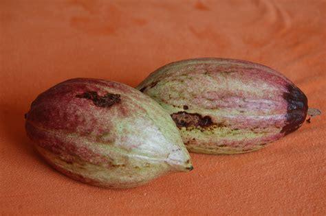 essigsäure zur unkrautvernichtung der kakaofrucht zur hei 195 ÿen schokolade teil 1 caracasa de