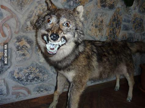 insanity wolfs retarded brother gag