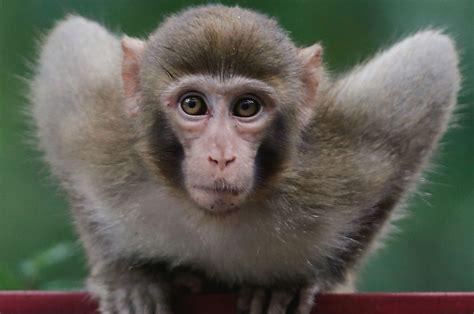 Honda Monkey Hd Photo by Monkey Wallpapers Hd